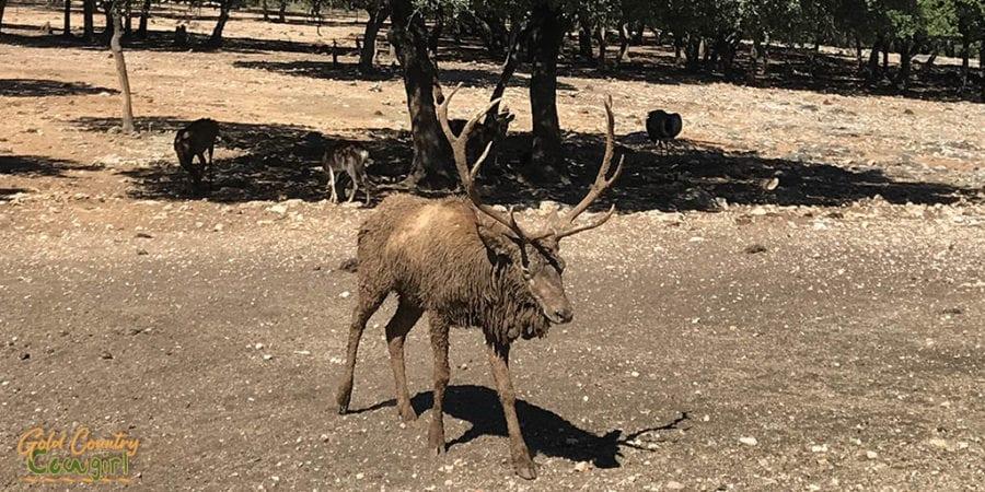 Elk covered in mud
