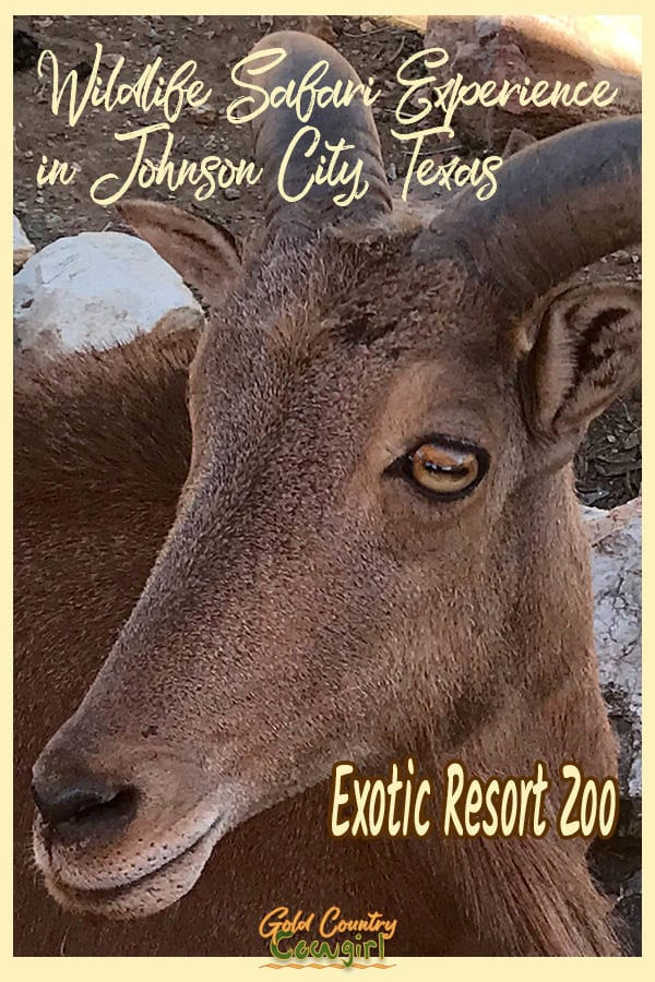Close up of exotic sheep face with text overlay Wildlife Safari Experience in Johnson City, Texas Exotic Resort Zoo
