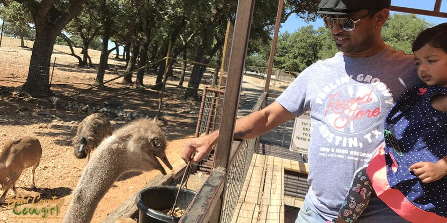 Man with young child feeding an ostrich from a bucket