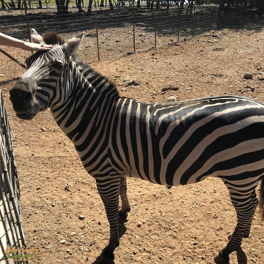 Hand petting a zebra