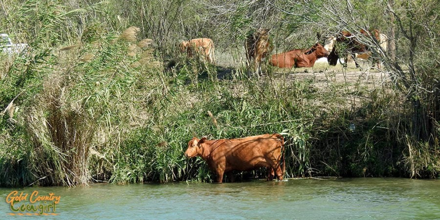 Cows on the river bank