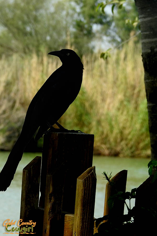 grackle in silhouette