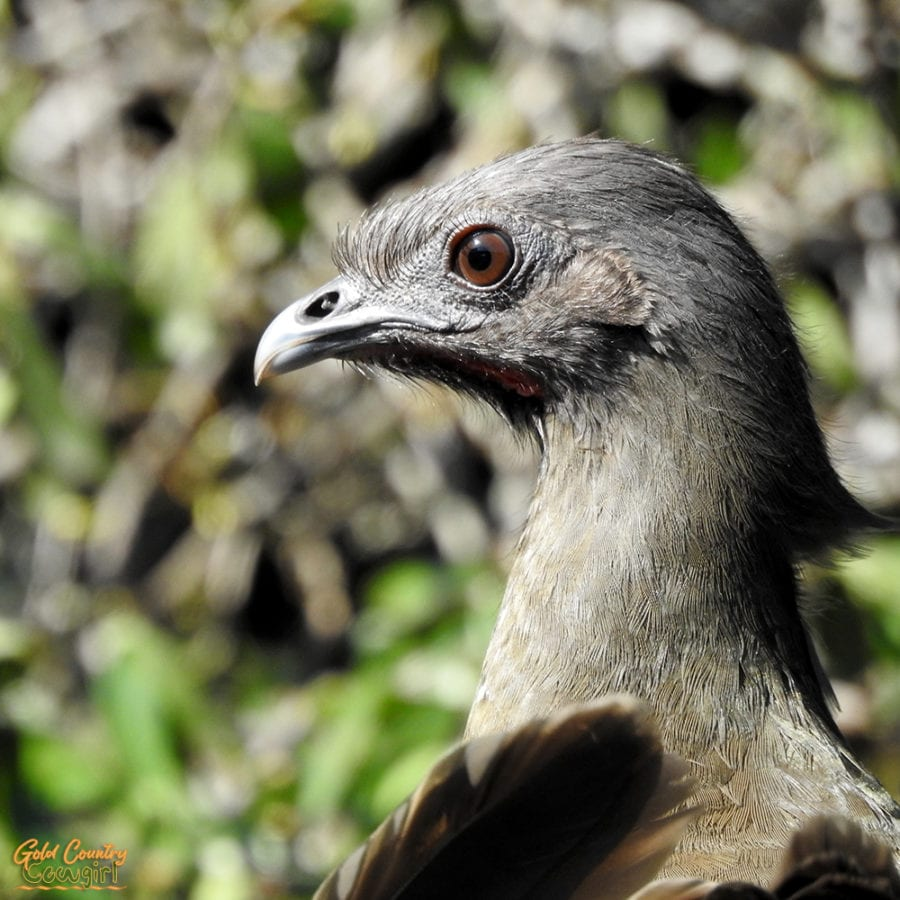 close up of common chachalaca