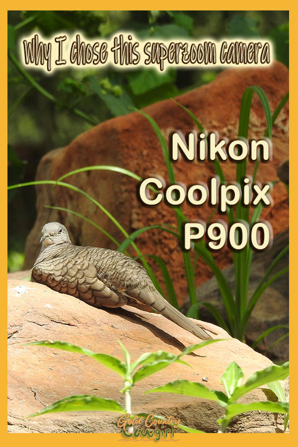 Inca dove on rock with text overlay: Why I chose this superzoom camera Nikon Coolpix P900