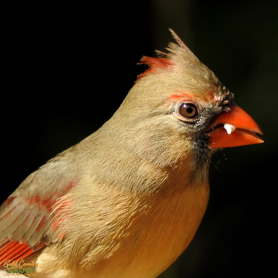 closeup of female cardinal