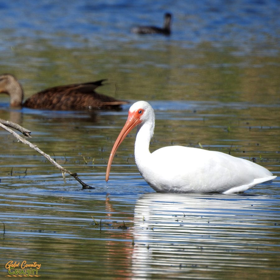 white ibis in pond